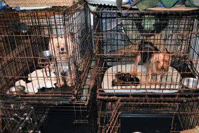Judge rules 53 dogs won't go back to owner