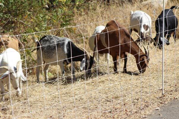 Goats 7