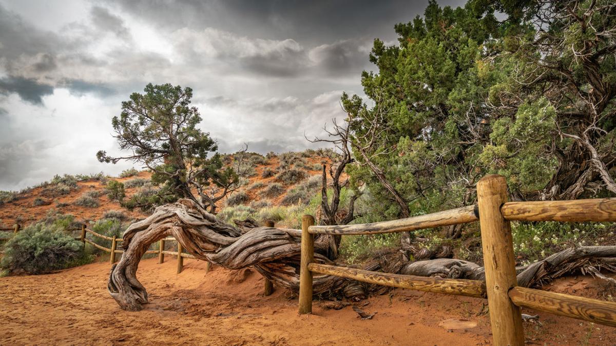 'The Walking Tree'