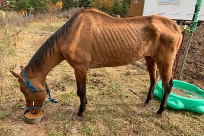 Malnourished horse put down