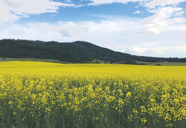 Canola crop serves as eye candy