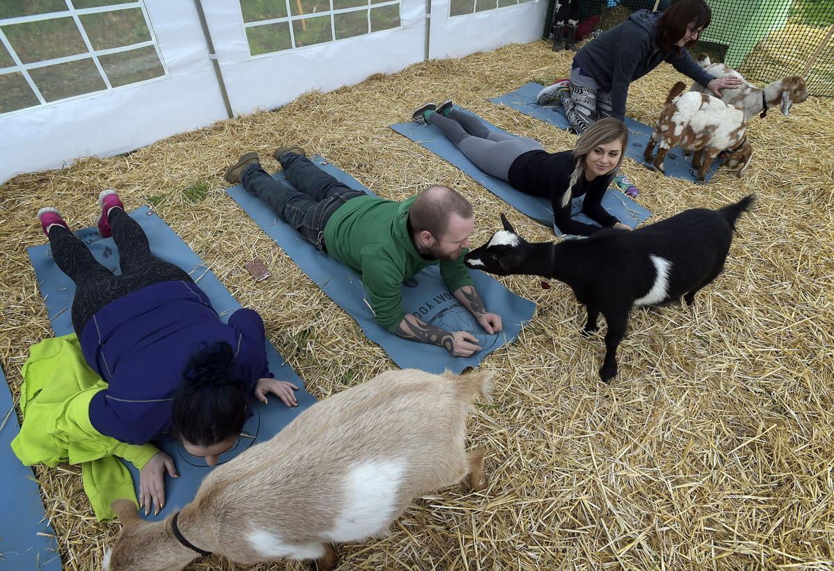 Goat Yoga 06