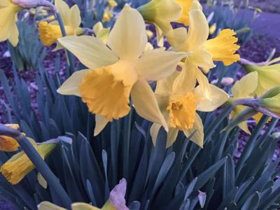 Daffodil Corner 3-15-19