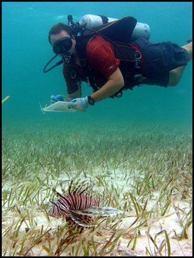 Venomous lionfish prowl delicate Caribbean waters