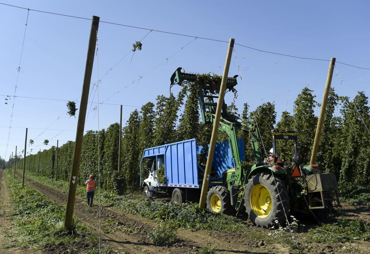 Strata Hop Harvest 01