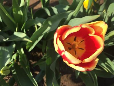 Red and Yellow Tulip 4-22-19