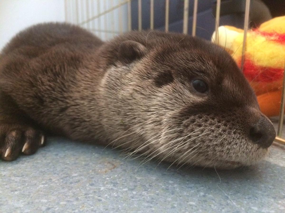 Chintimini Wildlife Center sends rehabilitated otter pup ...