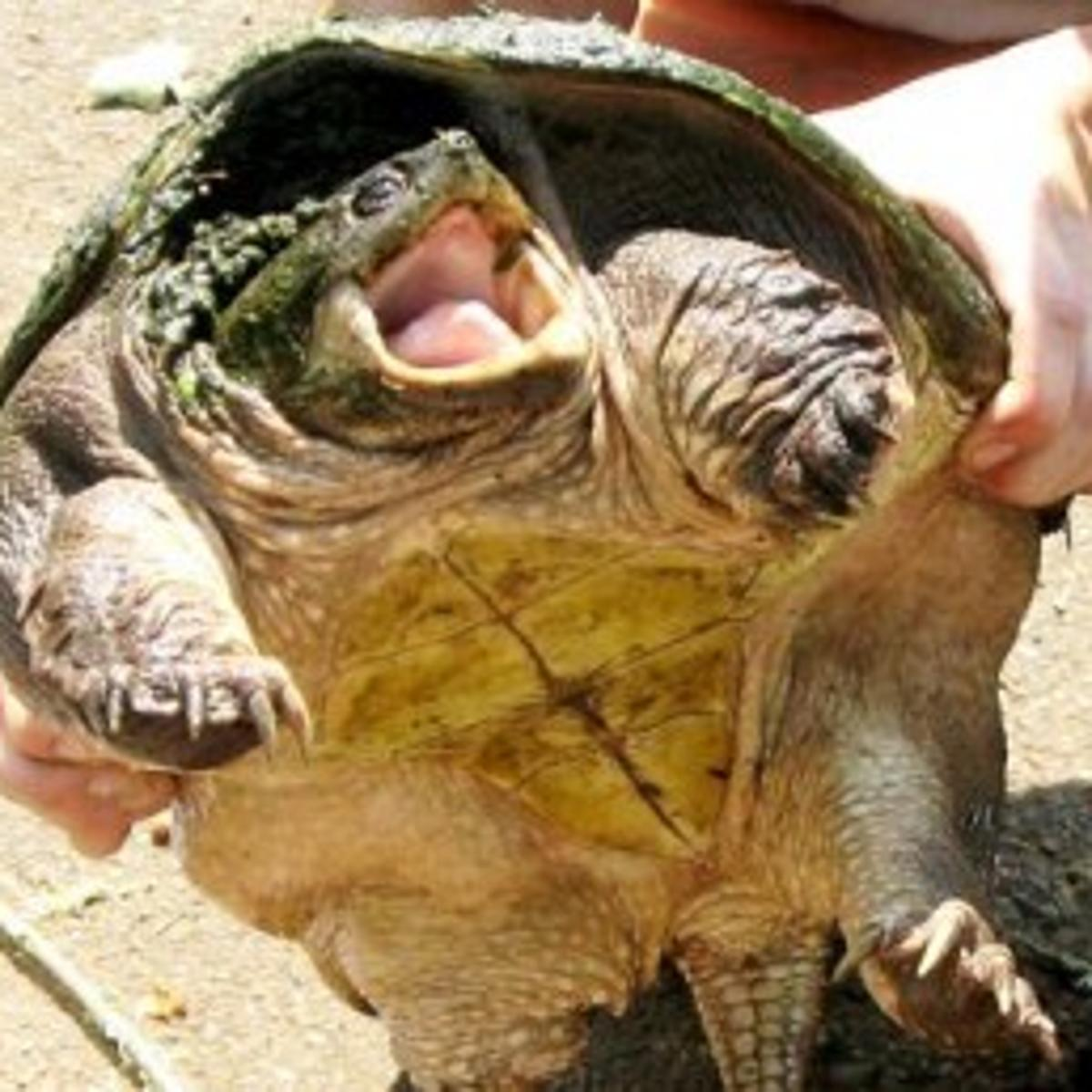 Giant snapping turtles cropping up in mid-valley | Local