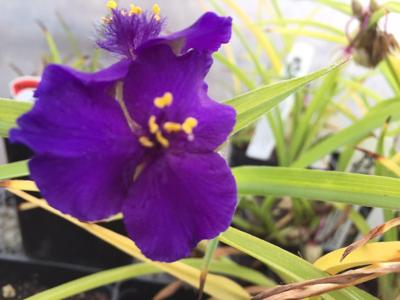 Purple flower 12-7-18