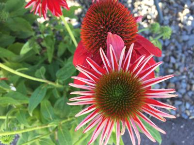 Spiky Red 7-11-18