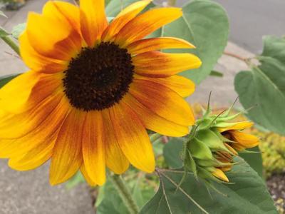 Sunflowers 8-14-19