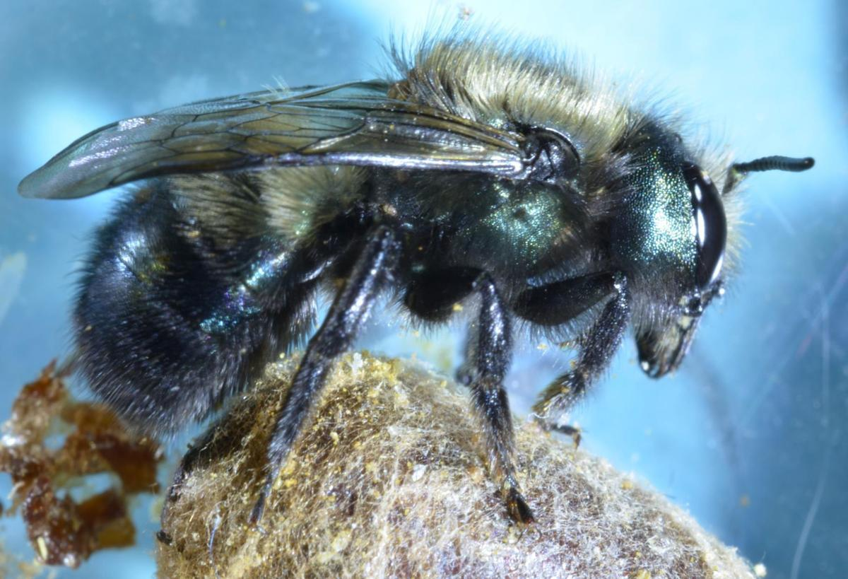 Female mason bee (copy)