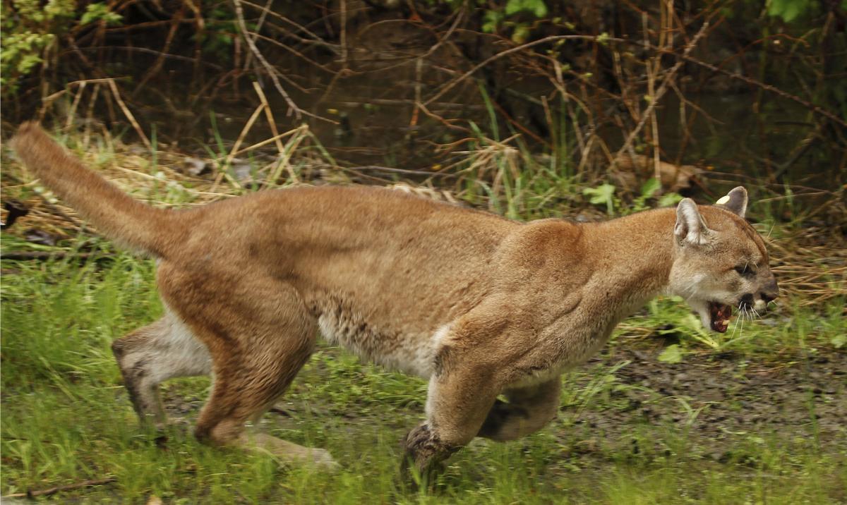 Cougars Stalk Community
