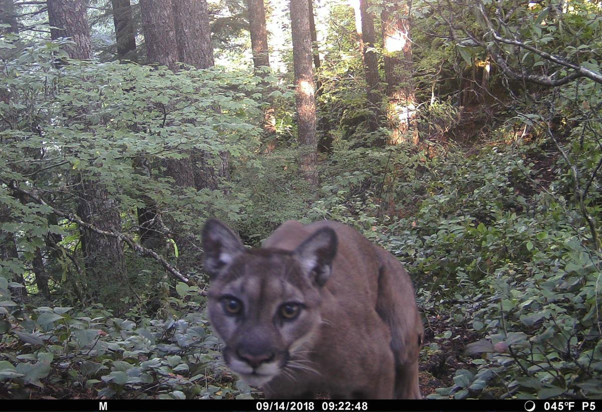 Cougar on camera