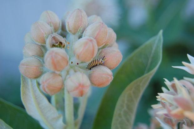 monarch caterpillars on milkweed.jpg