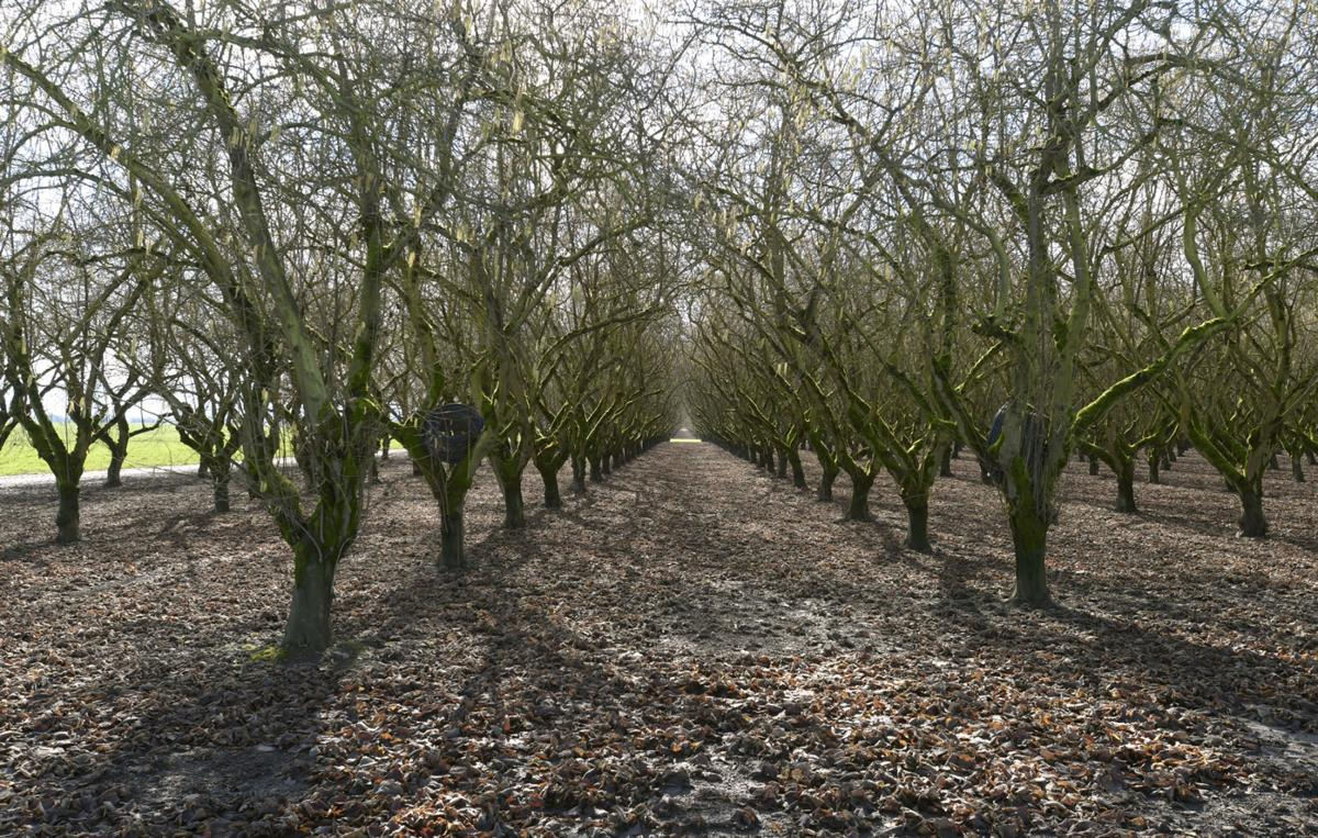 032216-adh-nws-filbert trees-dp.jpg (copy)