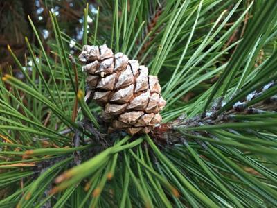 Pine Cone 2-13-19