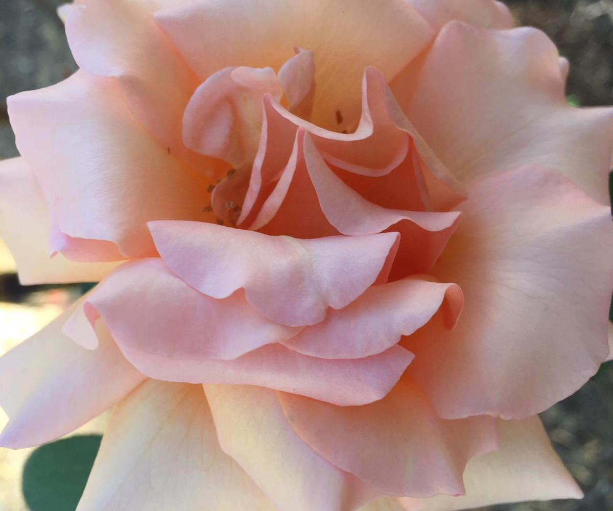 All Rose 9-12-18