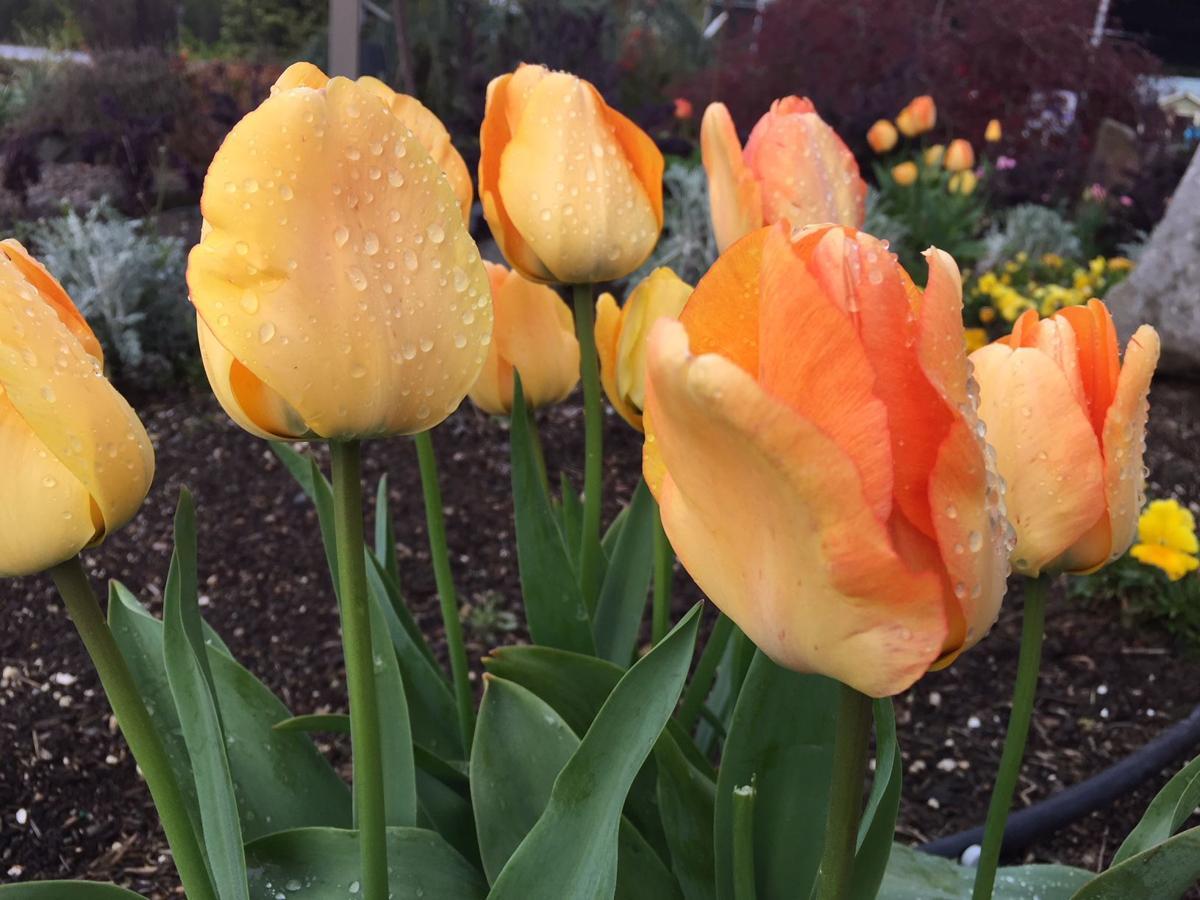 Tulip Fire 5-17-18