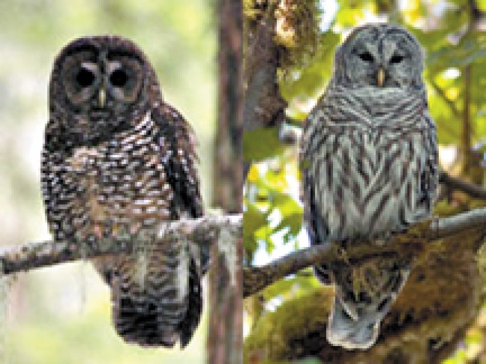 New Mobile Home Prices >> Whoo's Dat?: Study reveals that barred owl is a menace to Northern spotted