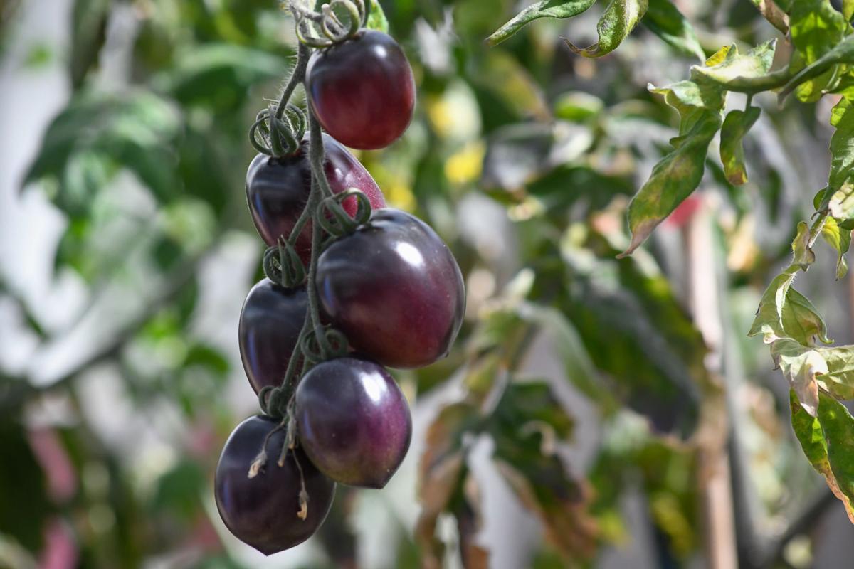 OSU tomatoes 02
