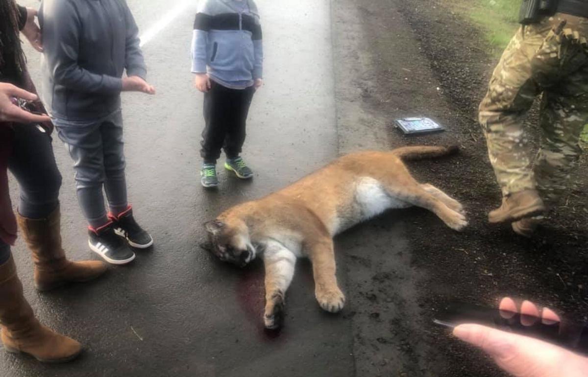 Large cougar killed