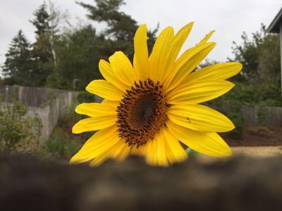 Peeking Sunflower 9-14-18