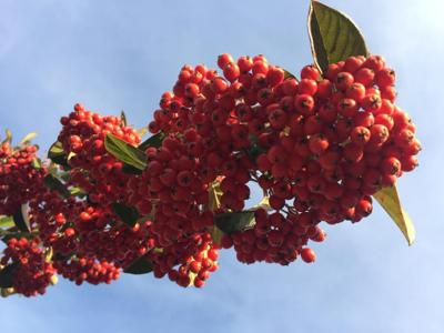 Sky and Berries 1-11-19