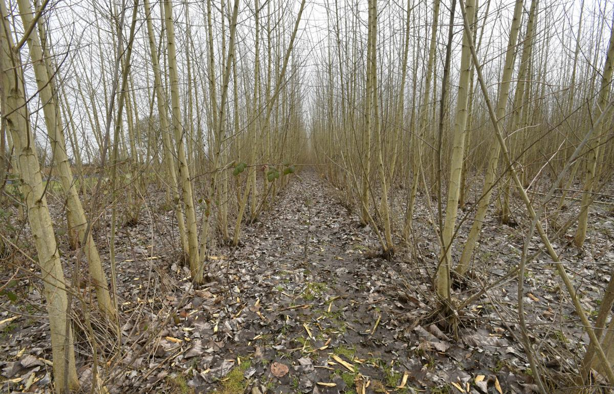 analysis of the poplar field Observations on bud burst phenology in a field trial established with poplar (populus spp)  analysis of variance showed statistically highly significant.