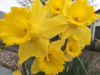 Daffodil Explosion 4-17-19