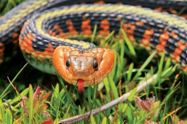 Watchable Wildlife: Red-Spotted Garter Snake | Watchable-wildlife ...
