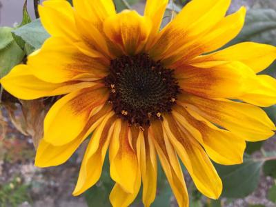 Last Sunflower 10-17-19
