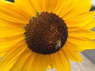 Sunflower Bee 9-10-19