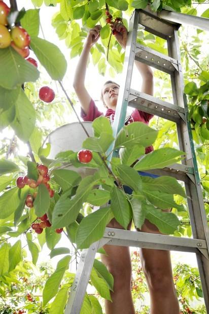 osu cherries 1