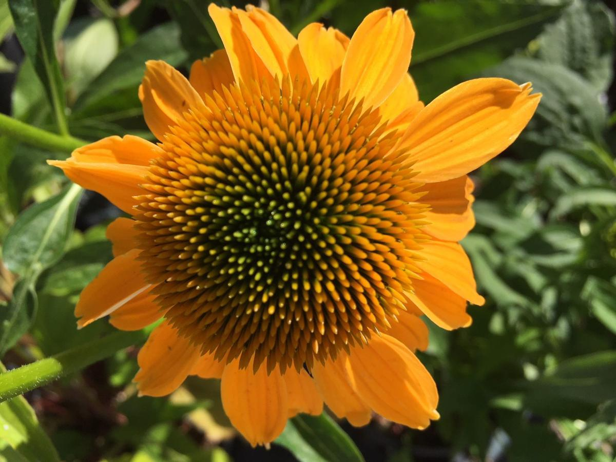 Orange Burst 7-12-18