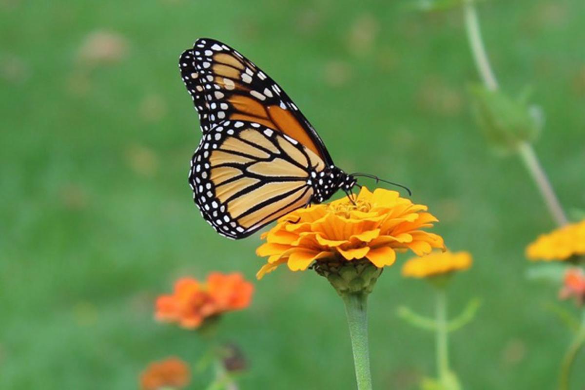 2019-05-17-Mrgich Monarch.jpg