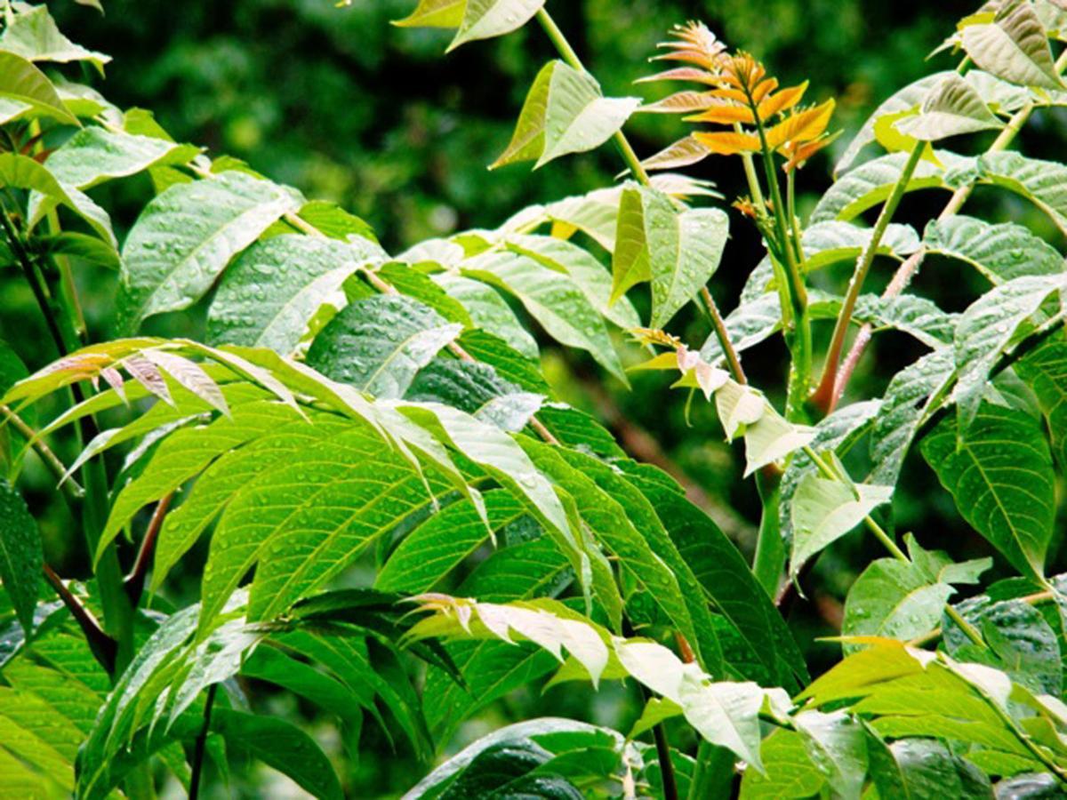 Ailanthus_altissima