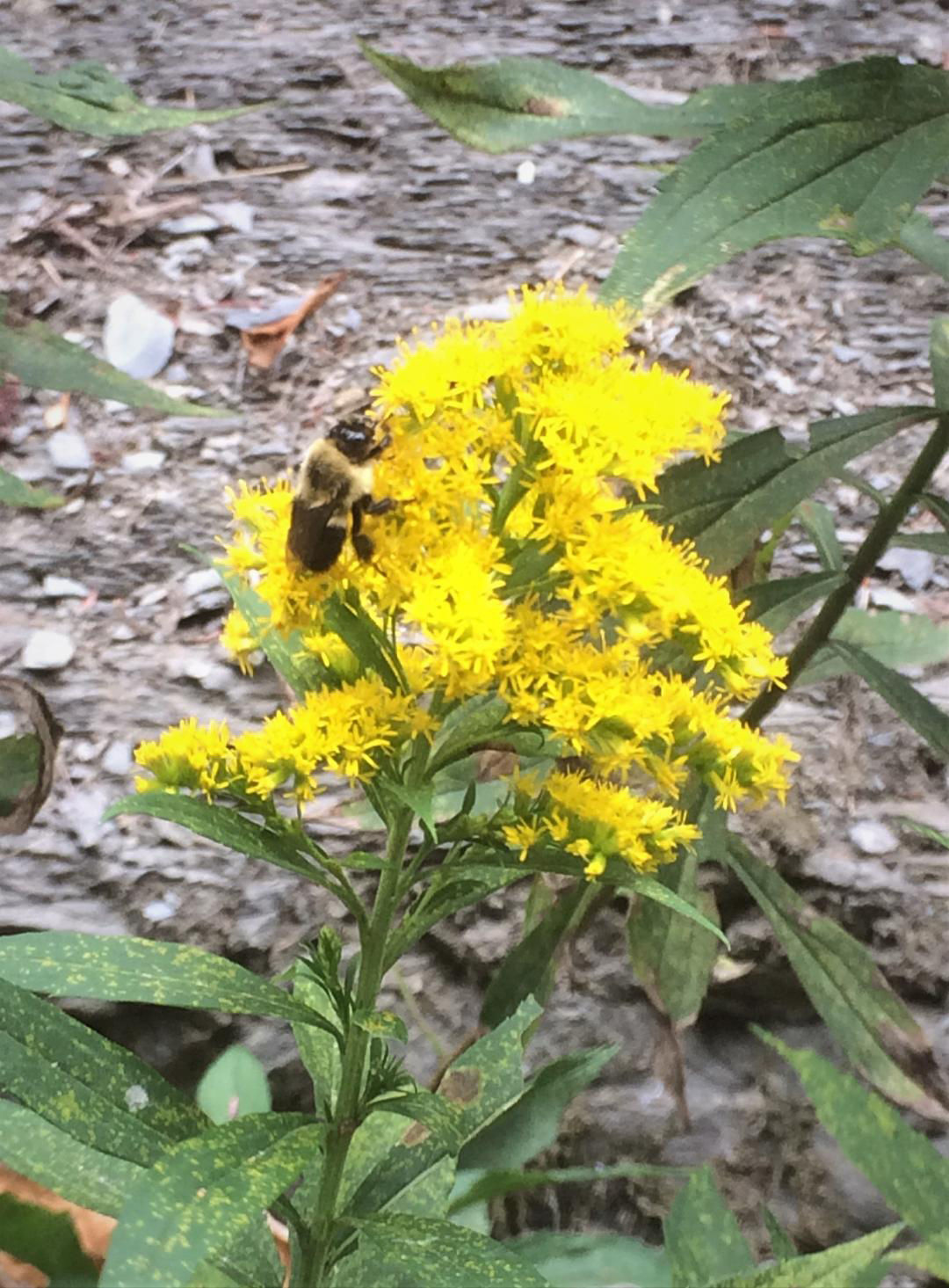 Goldenrod going the distance