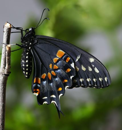 Eastern Black Swallowtail.jpg