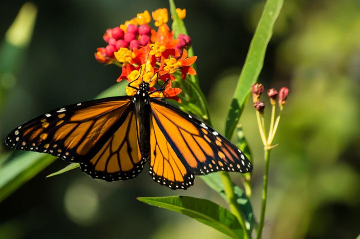 Monarch on butterfly weed-Black 08-13-21.jpg