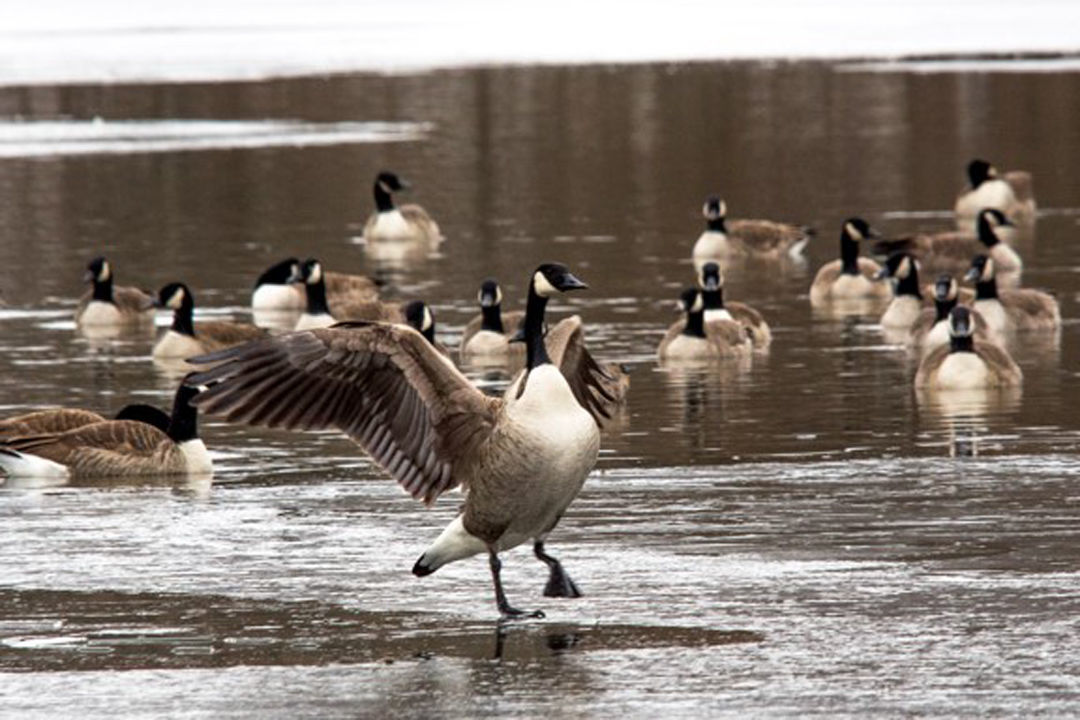 2020-01-24-goose.jpg