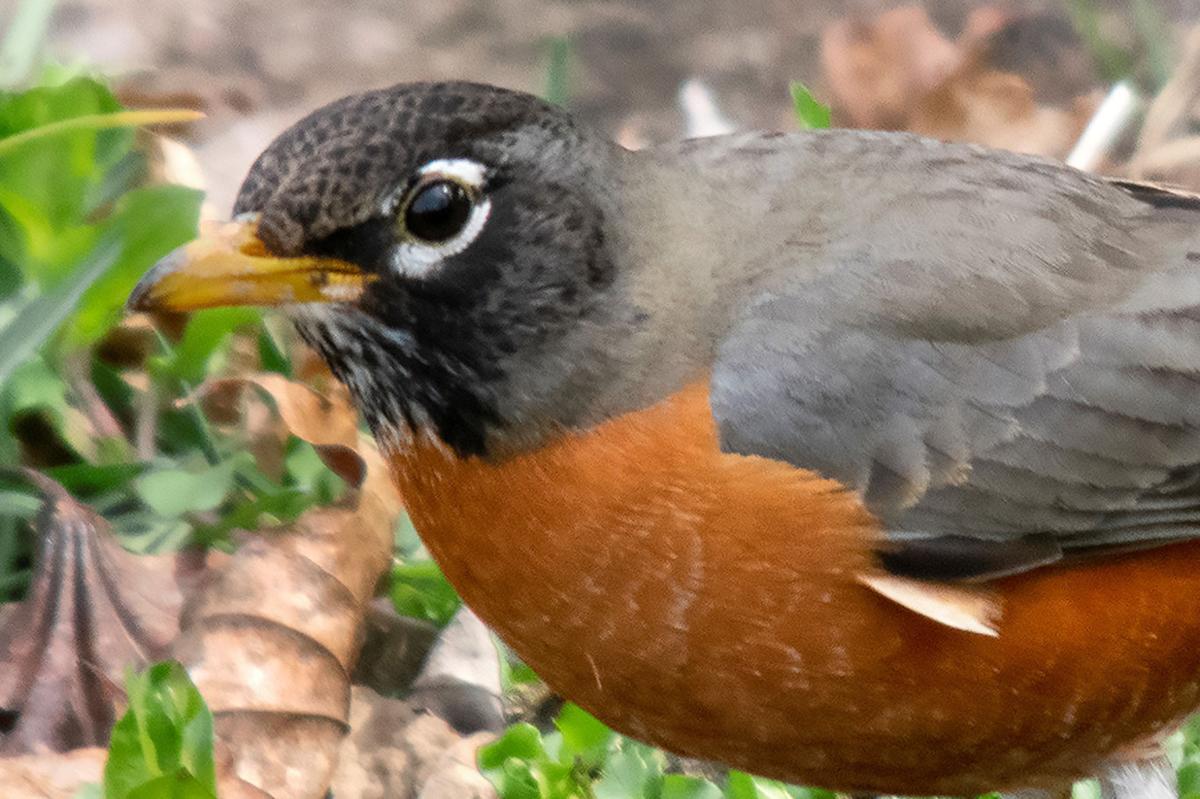 American Robin on worm hunt