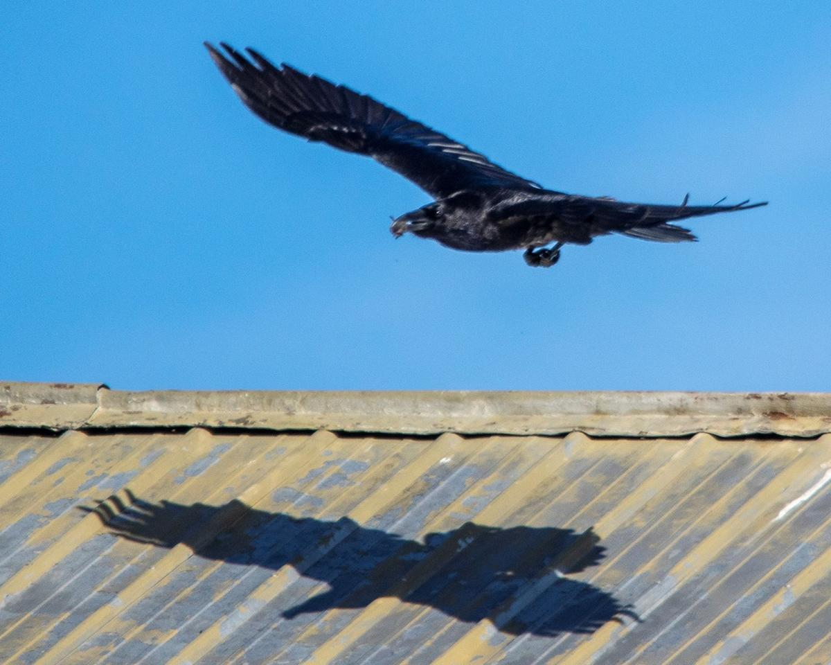 Common Raven casts shadow over launch