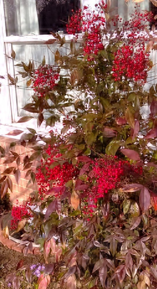 2-Nandina domestica produces white flowers in spring which turn into red berries as fall arrives..jpeg
