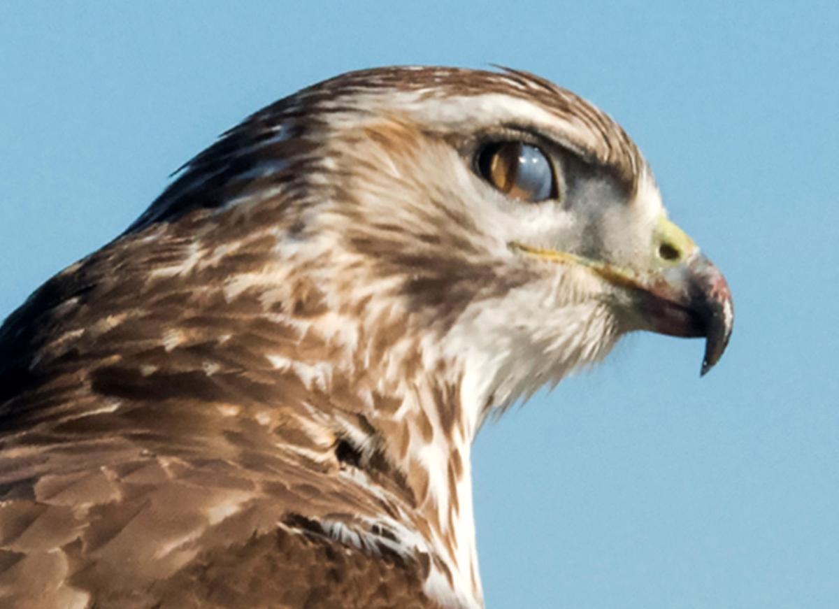 Hawk's protective third eyelid
