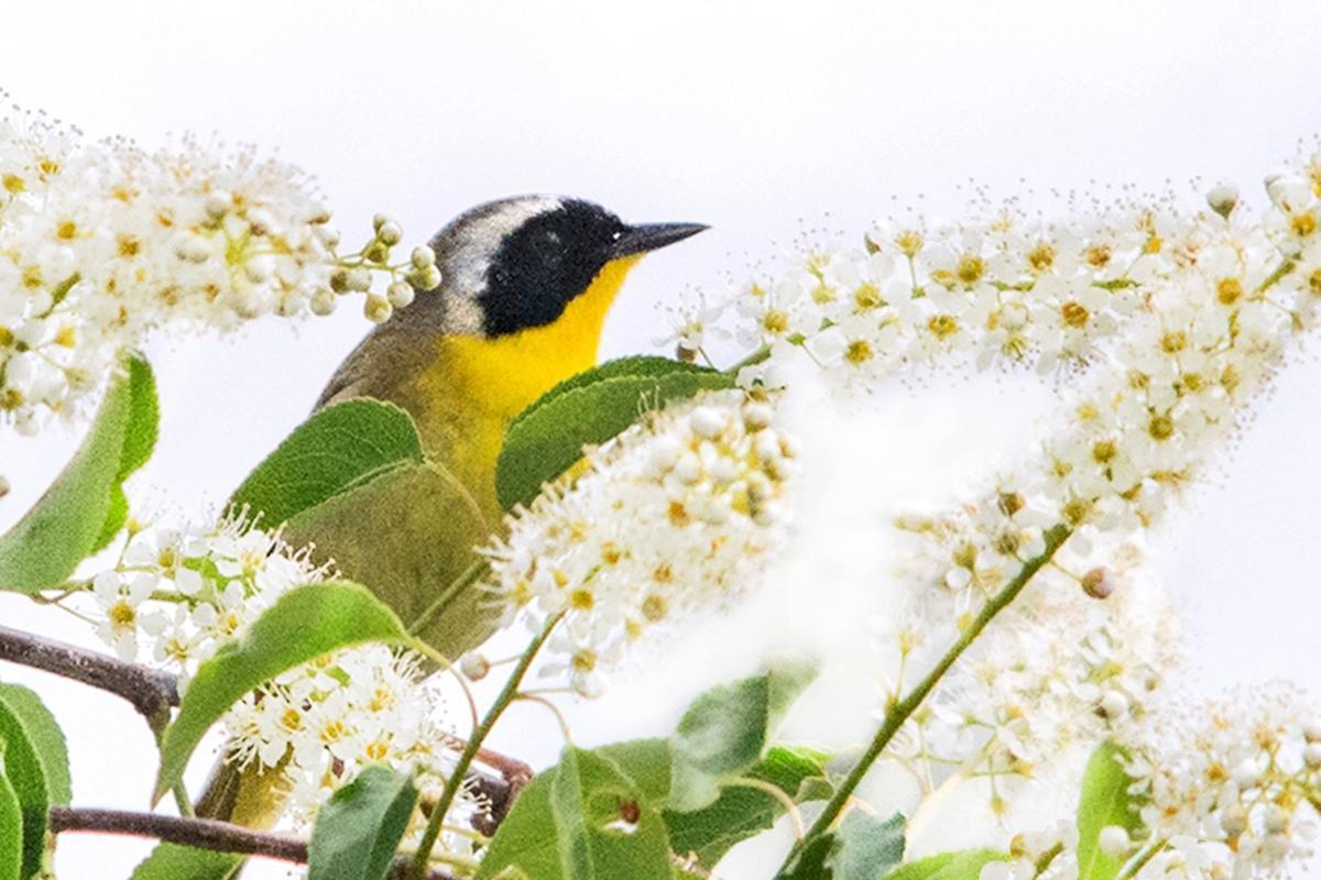 Common Yellowthroat Warbler