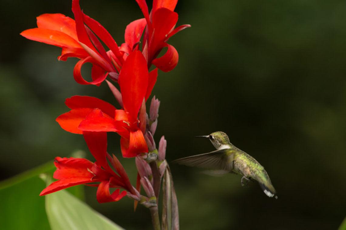 Hummingbird at canna lily-Black 08-13-21 (002).jpg