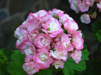 Apple blossom geranium