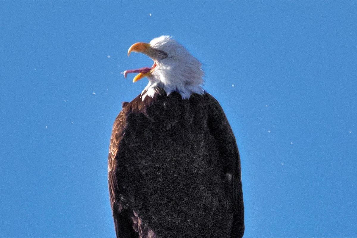 Ebi-sneezer Eagle