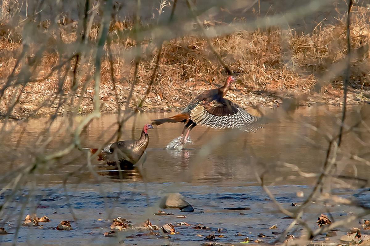 Wild Turkey takeoff